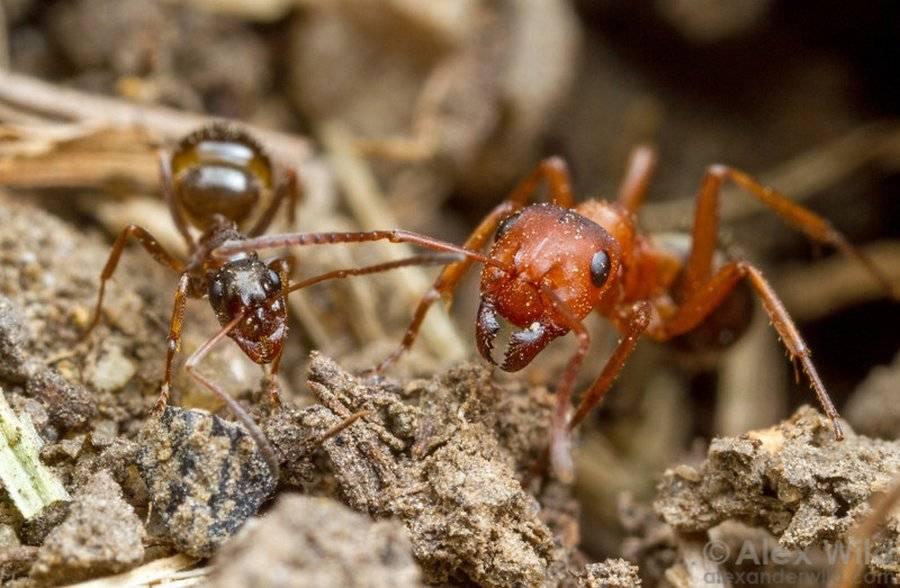 Красные муравьи в квартире: как вывести и какое средство применить
