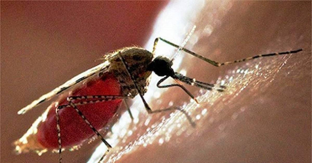Можно ли заразиться гепатитом c через комаров, может ли комар переносить гепатит