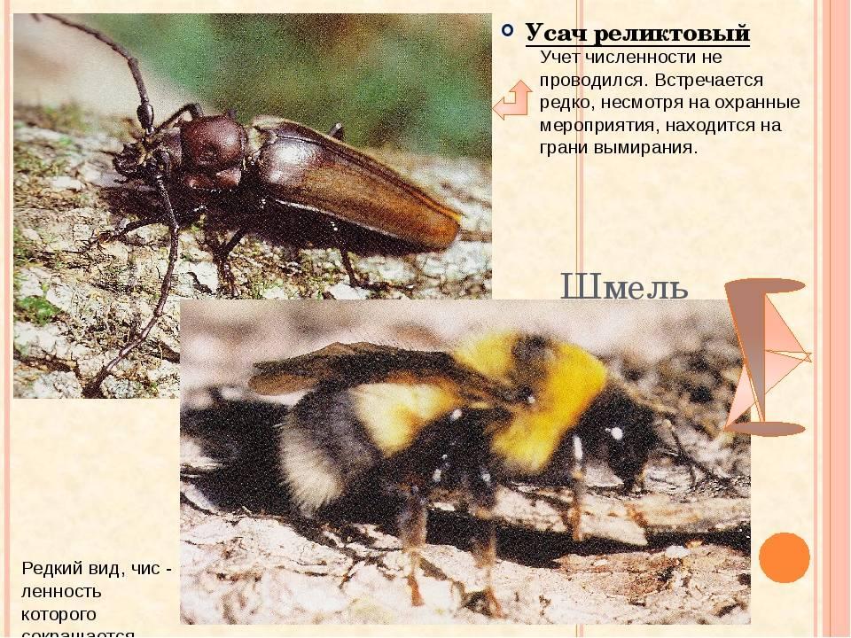 Дровосек реликтовый: краткое описание, размножение