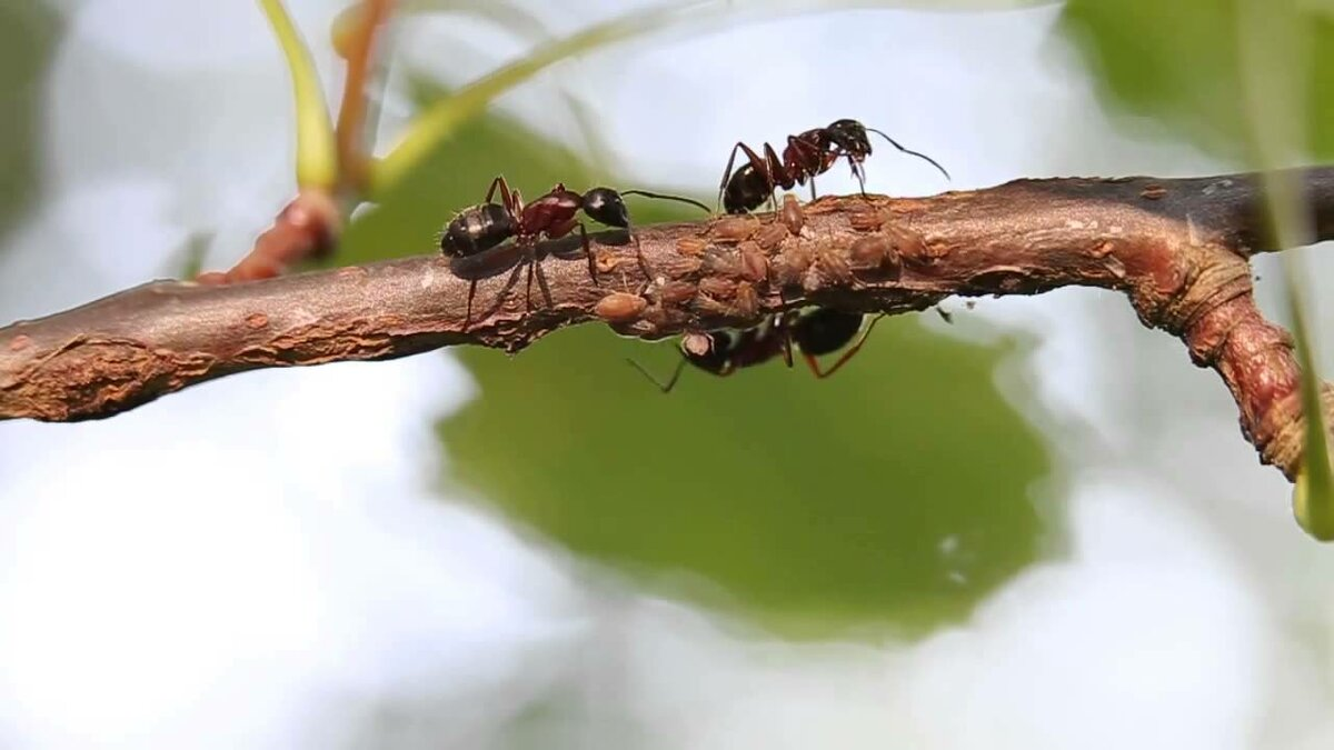 К чему в доме появляются муравьи - приметы