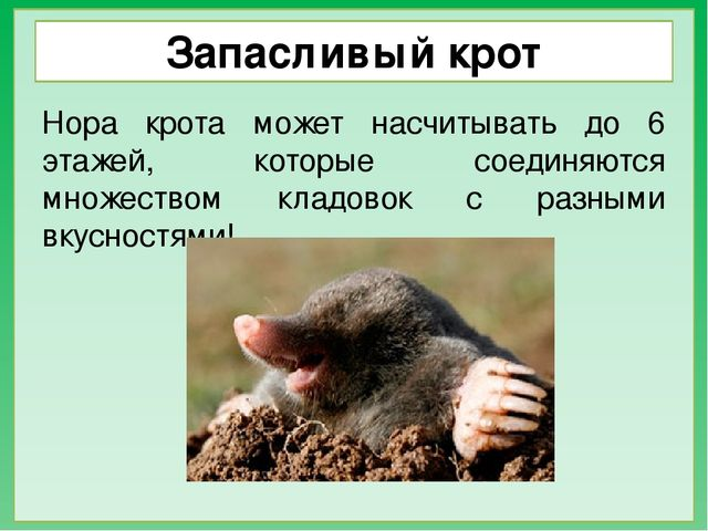 Кроты – фото, описание, ареал, рацион, враги, популяция