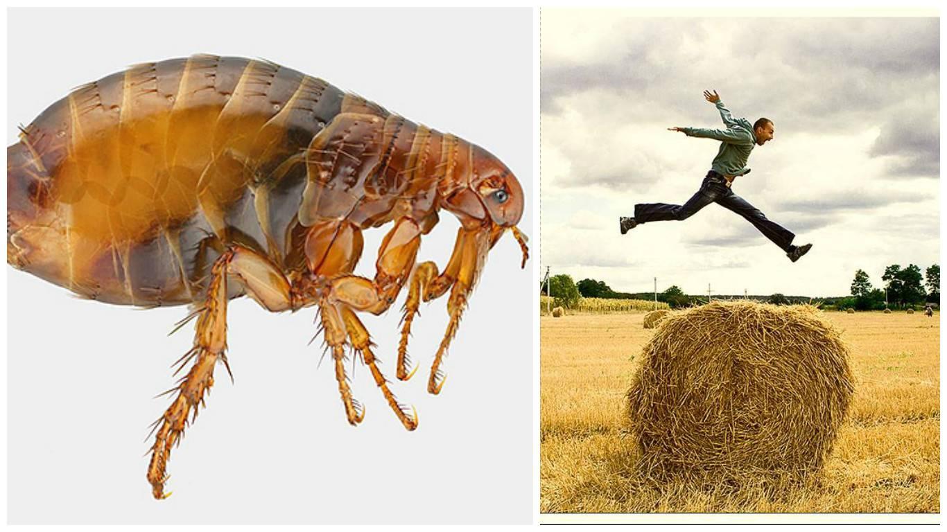 Блохи прыгают: способы передвижения насекомых