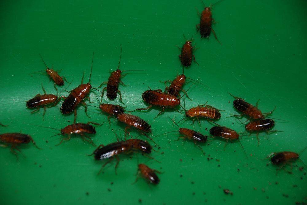 Мадагаскарский таракан - разведение и содержание в домашних условиях
