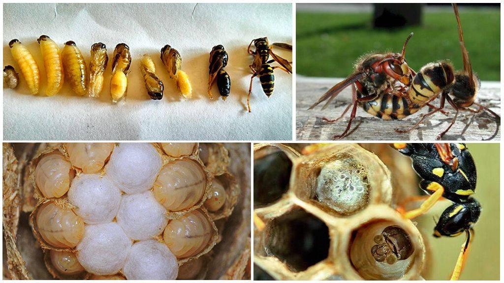 Развитие пчелы по дням: стадии развития
