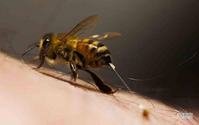 Жало пчелы. почему пчела умирает после укуса