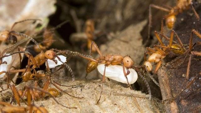 Муравьи в саду и на огороде: виды, откуда беруться, где живут и как от них избавиться, фото насекомых