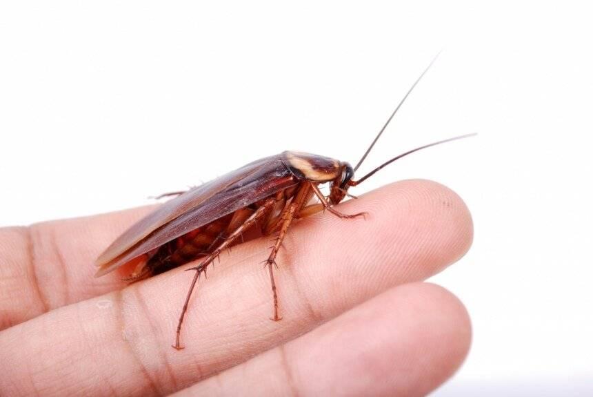 Летают ли тараканы: у каких разновидностей есть такая способность, насекомые с крыльями, защита от них