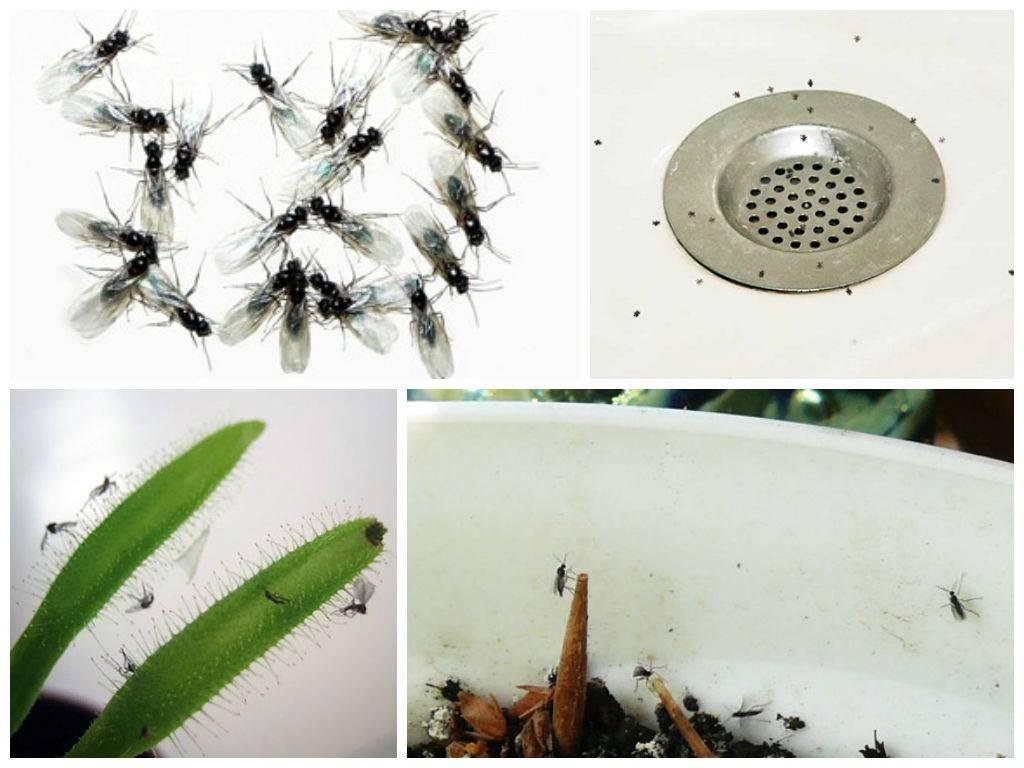 Как избавиться от мелких мошек в квартире или доме, на кухне, методы борьбы с дрозофилами различными средствами + фото и видео