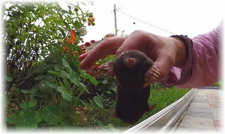 Избавление от крота в огороде краткое руководство