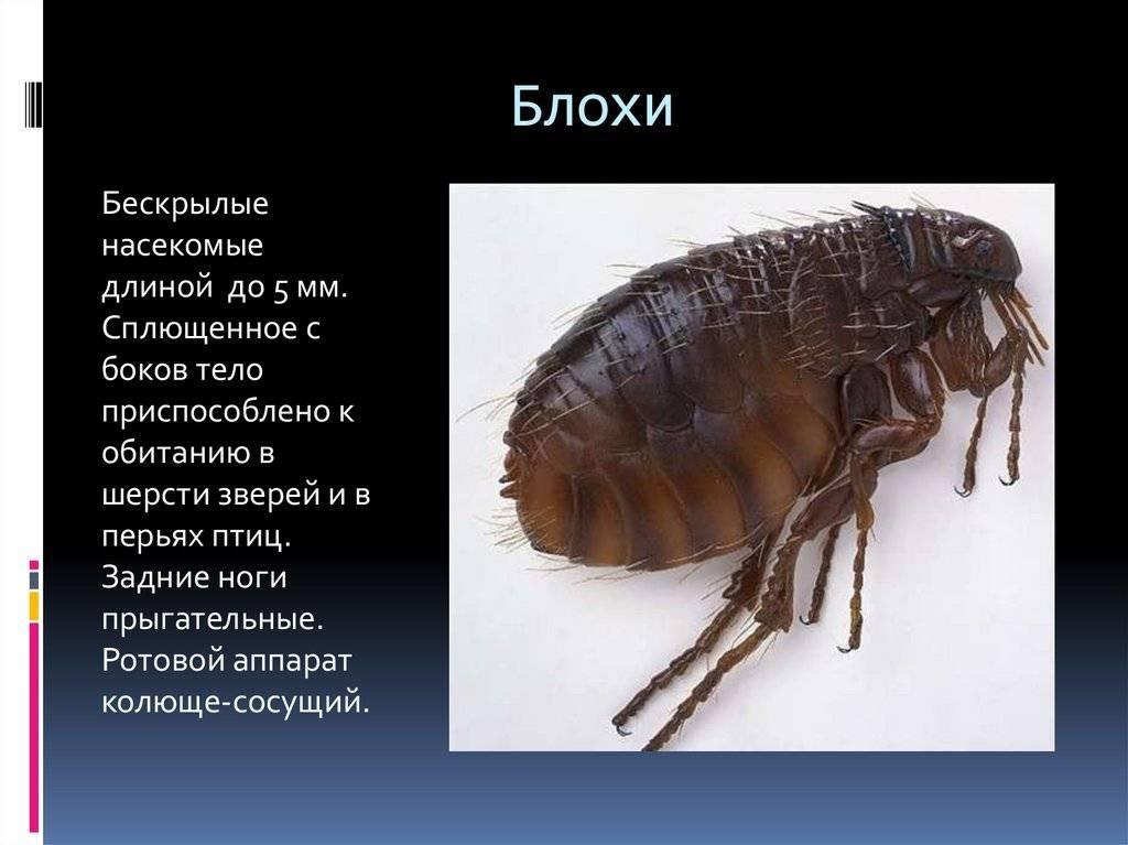 Виды блох: белые, вещевые, маленькие черные паразиты у домашних животных и их фото русский фермер