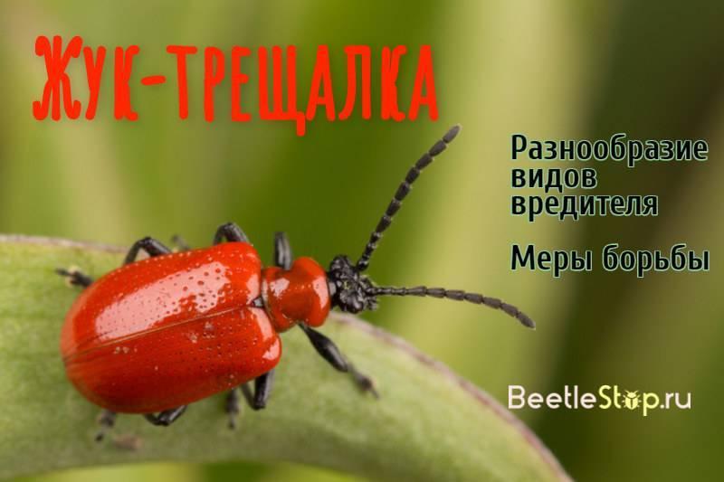 Трещалка: распространенные виды жука и способы борьбы с ними