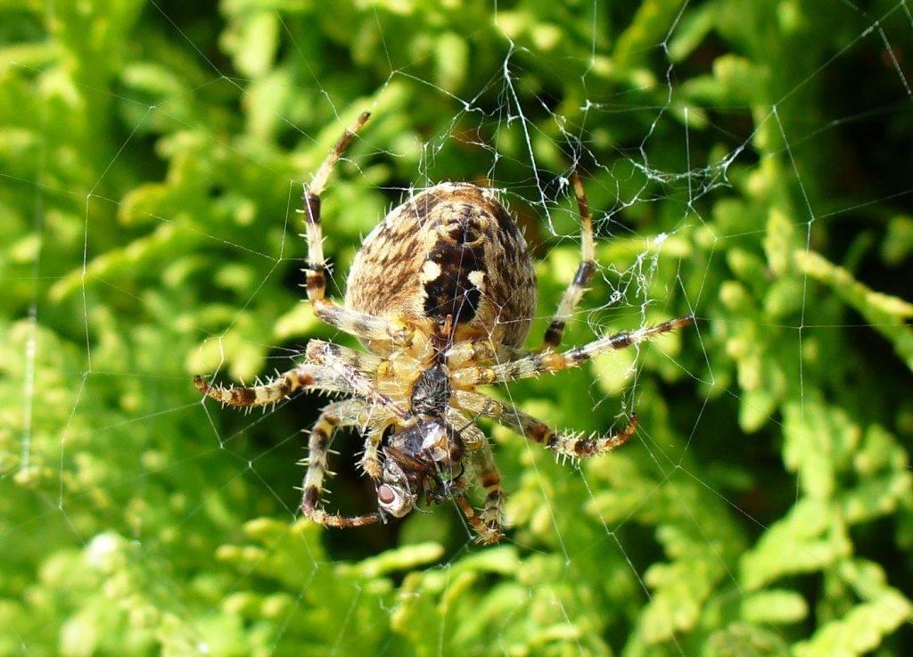 Крестовик паук. описание, особенности, виды, образ жизни и среда обитания крестовика