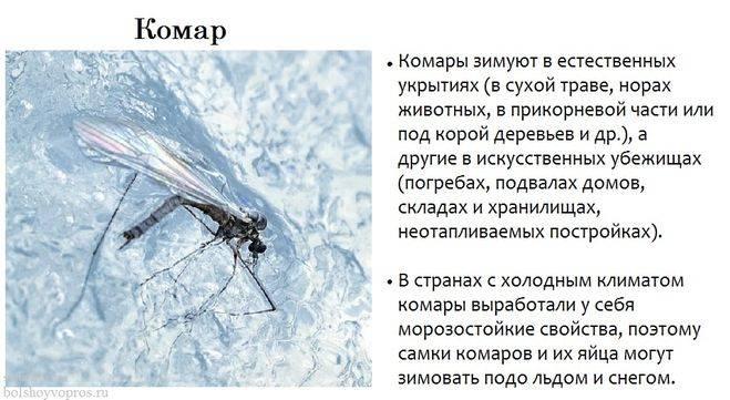 Как зимуют осы: где проходит зимовка ос или шершней, живущих летом под крышей в дачном доме, погибают ли они зимой и когда спят
