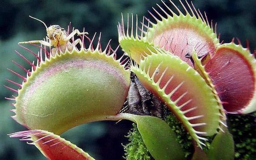 Растения-хищники: выращивание и уход в домашних условиях