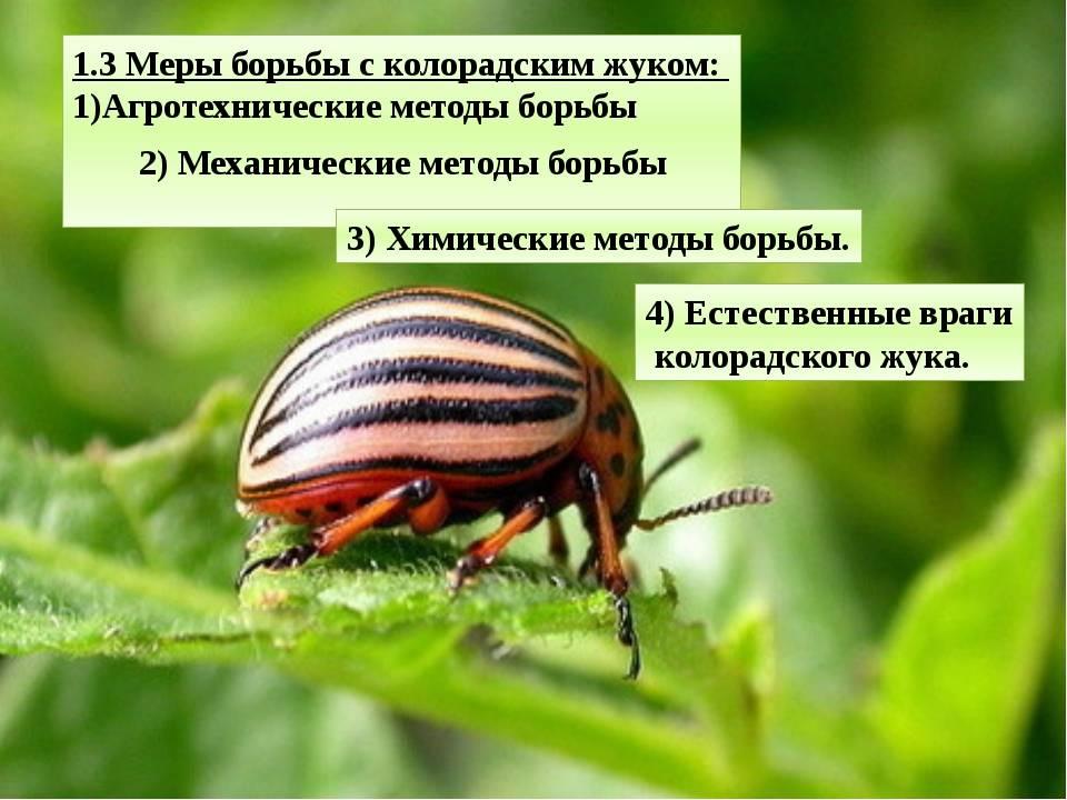 Народные средства от колорадского жука без химии