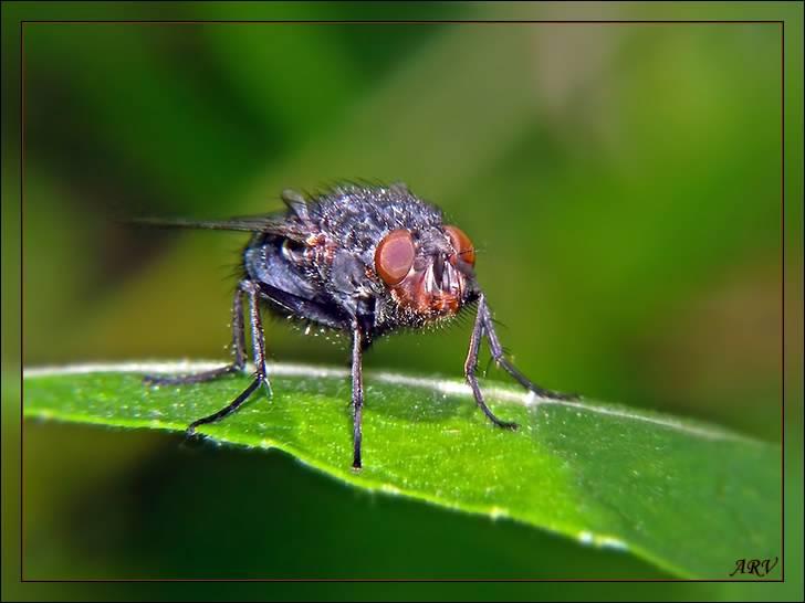 Личинки и яйца мух
