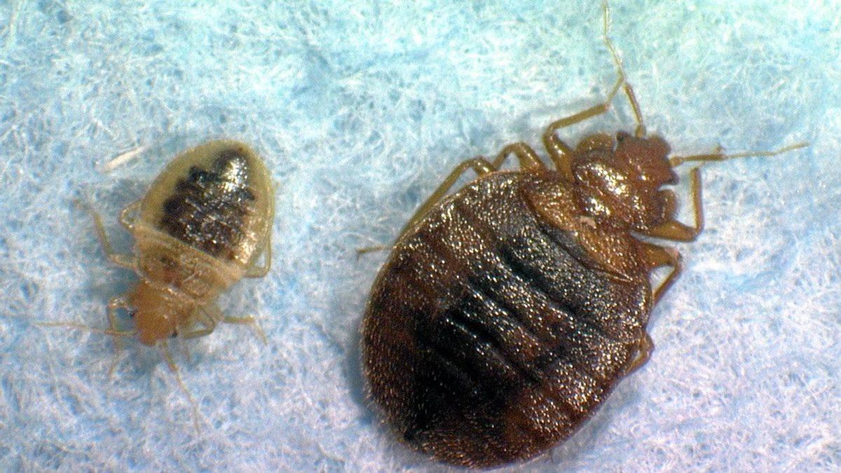К чему снятся клопы и тараканы: в постели, на теле и одежде человека, что означает укус насекомого
