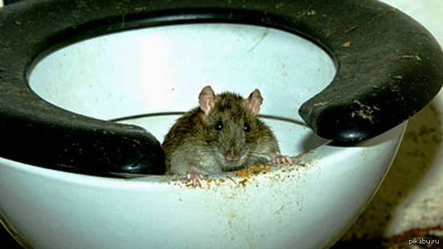 Сонник крыса в унитазе с говном. к чему снится крыса в унитазе с говном видеть во сне - сонник дома солнца