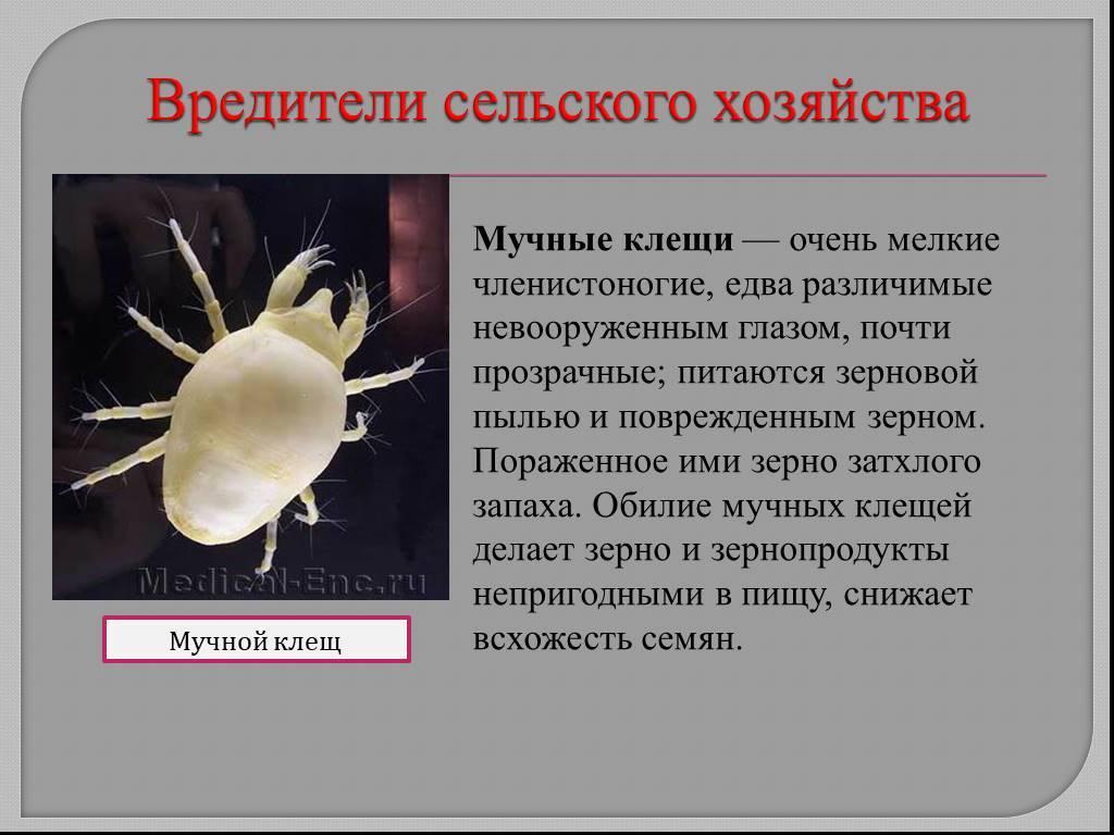 Амбарный клещ: опасный вредитель продуктов