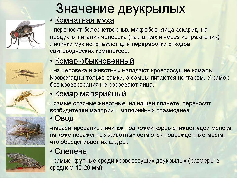 Зачем нужны комары — польза для природы, роль в пищевых цепочках, китайская комариная терапия