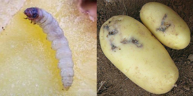 Кто такая картофельная моль и как с ней бороться?