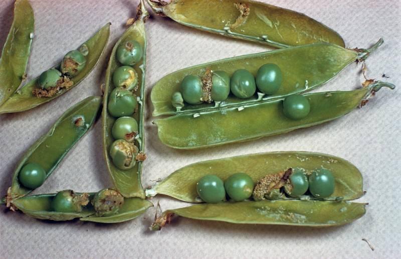 Гороховая тля – враг №1 бобовых культур
