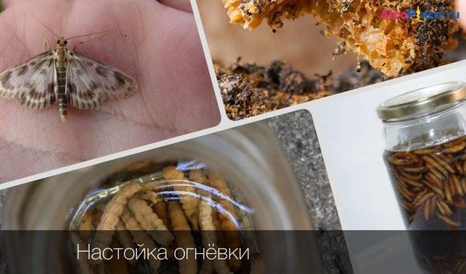 Экскременты личинок восковой моли: лечение и свойства