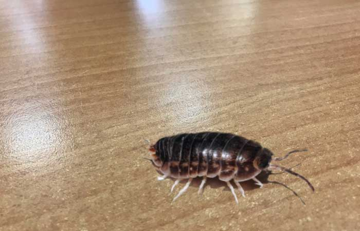 Мокрица обыкновенная квартирная: фото этого насекомого, описание особенностей его внутреннего и внешнего строения, а также рекомендации, как избавиться от паразита русский фермер