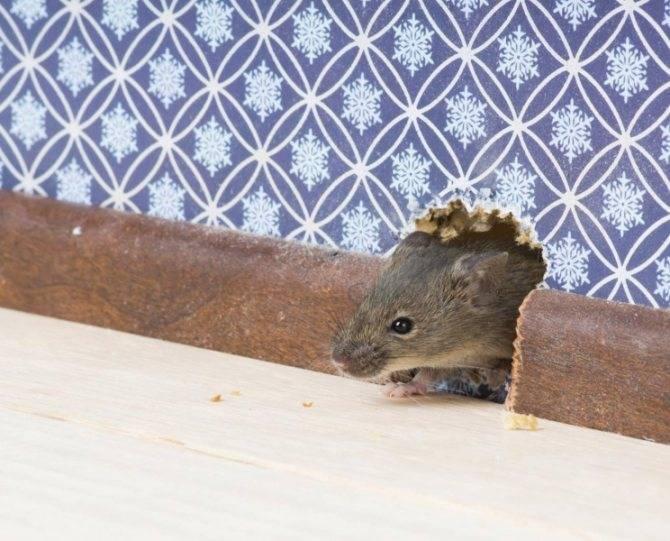Как долго воняет дохлая крыса