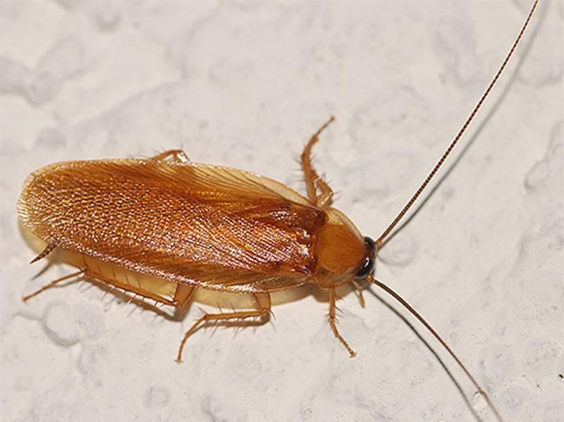 Как размножаются тараканы в квартире: половые различия тараканов и их развитие