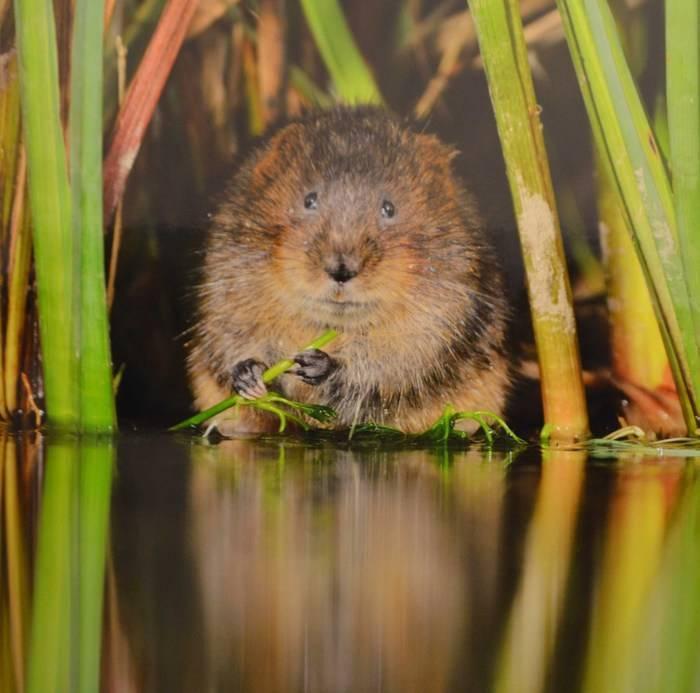 Речные крысы: название, фото с описанием, характеристика - truehunter.ru
