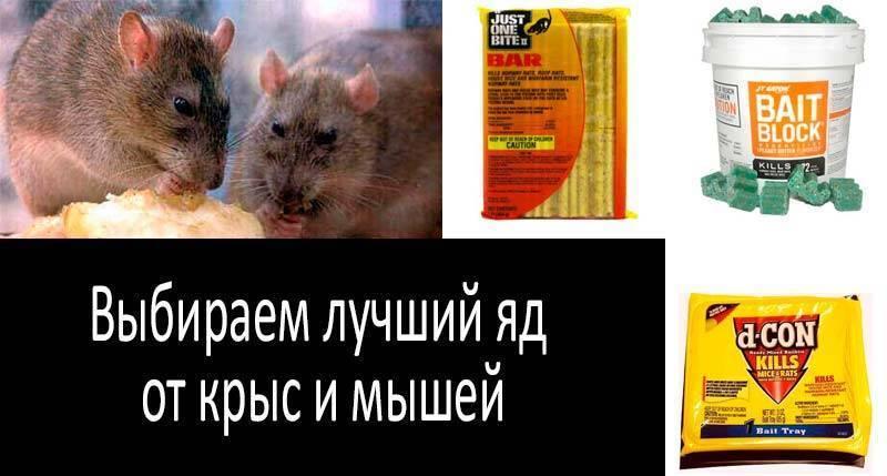 Методы эффективной борьбы с мышами — покупные и самодельные отравы