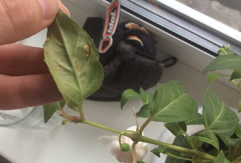 Как спасти комнатные розы от паутинного клеща? пошаговая инструкция и обзор препаратов