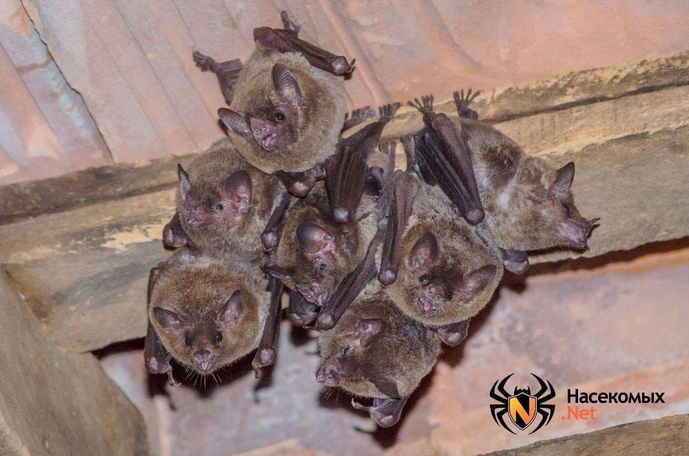 Как избавиться от летучих мышей на даче, в доме и в квартире