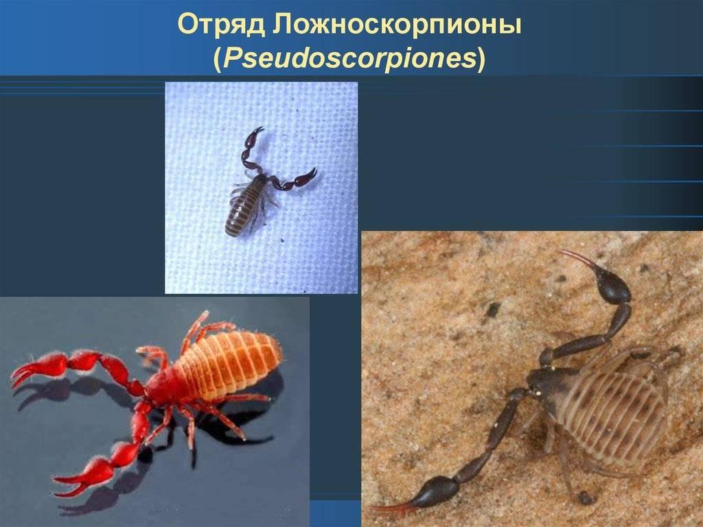 Жук с клешнями – насекомое, похожее на скорпиона