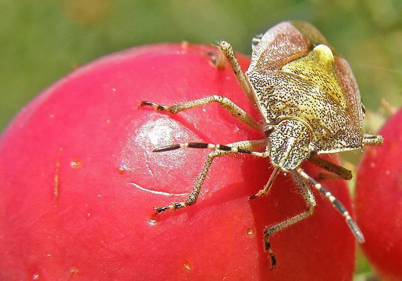 Клопы на помидорах: как бороться, какие виды бывают, чем опасны?