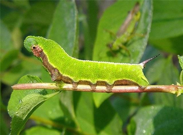 Гусеница совки: фото, описание всех видов личинок бабочки совки