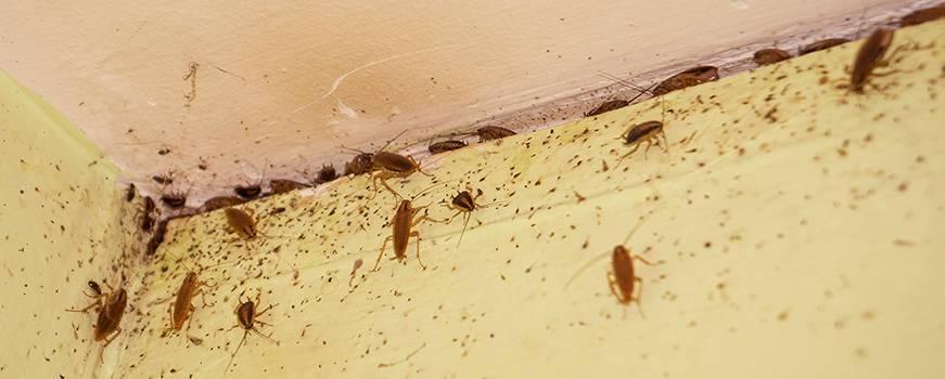Тараканы от соседей: что делать, практические советы, куда жаловаться на тараканов.