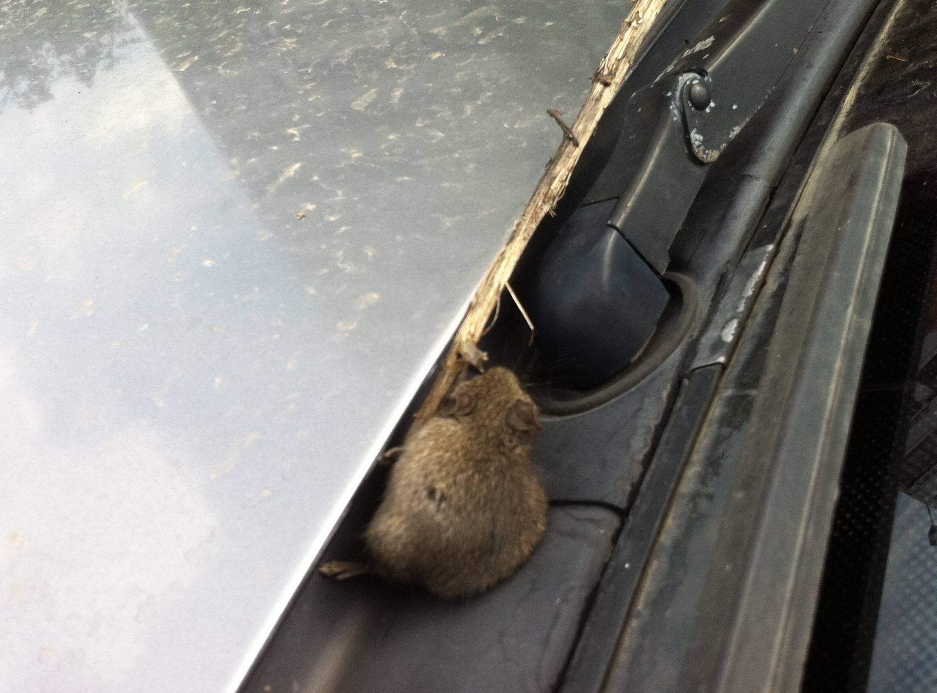 Как избавиться от мышей в машине навсегда