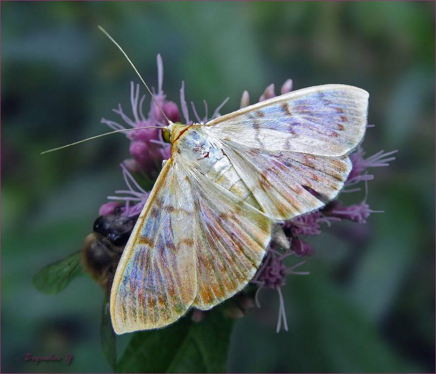 Бабочка огневка интересные факты. огнёвки настоящие. разрушительные действия личинки пчелиной огневки