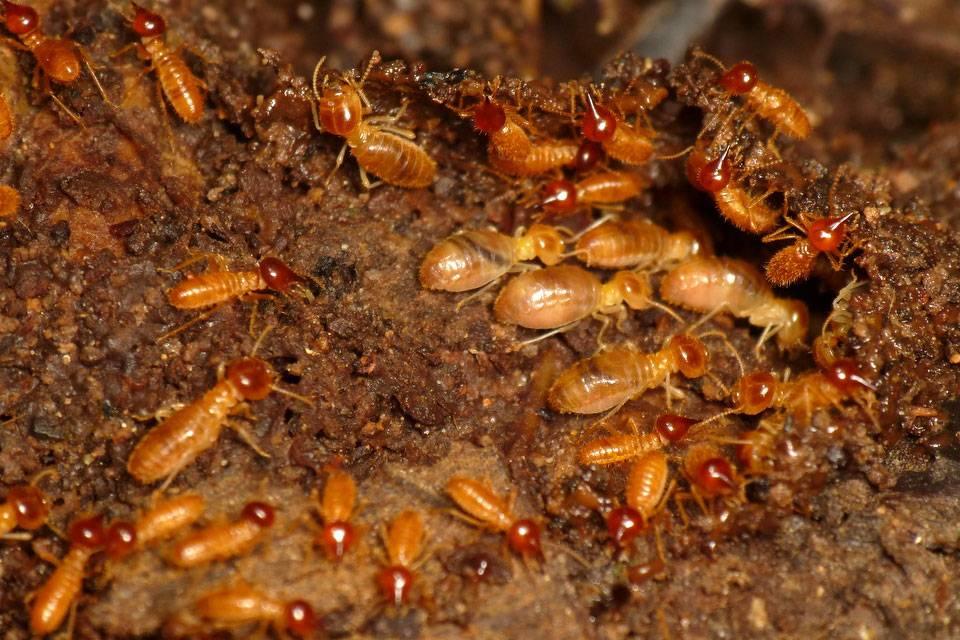Термиты и борьба с ними. что делать, если термиты появились в вашем доме? профессиональная борьба с термитами