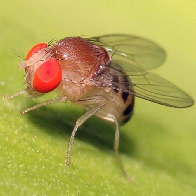 Сколько живет муха: обыкновенная, мошки, в квартире, на улице