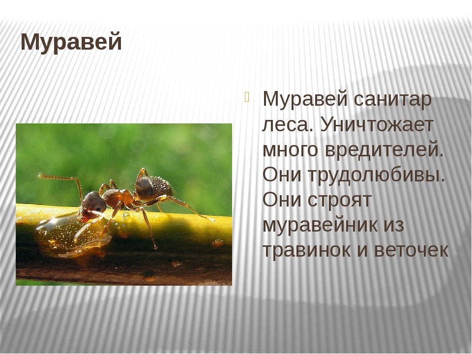 Лесные и садовые муравьи: польза и вред для сада, огорода, леса и человека