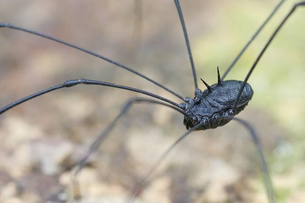 Паук сенокосец: описание паука с длинными ножками. удивительная жизнь сенокосца комнатный паук с длинными лапками
