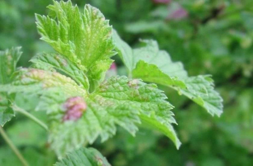Клещ на смородине – что делать? признаки поражения смородины паутинным и почковым клещами и методы борьбы - секреты садоводов