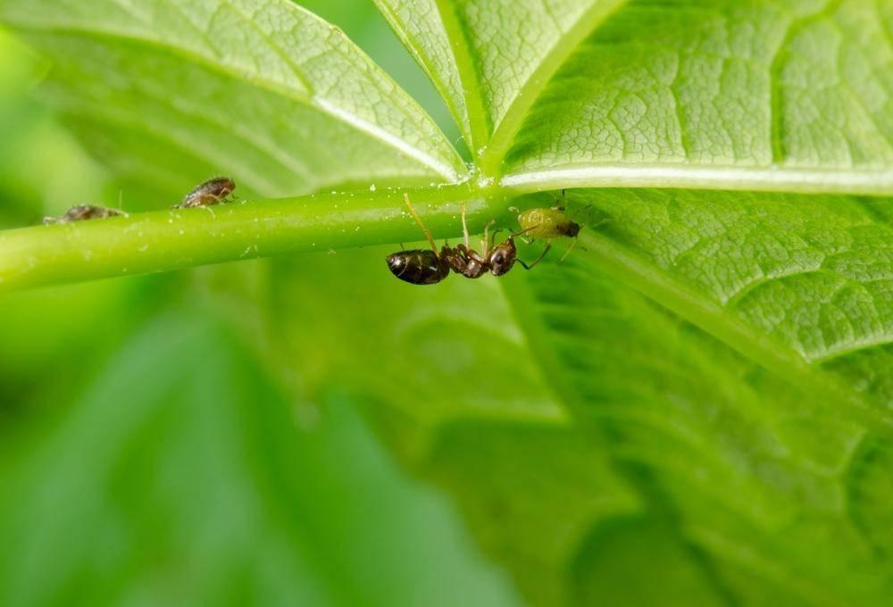 Могут ли муравьи съесть рассаду огурцов - садоводству да