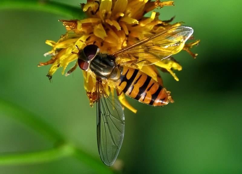 Журчалка муха похожая на пчелу