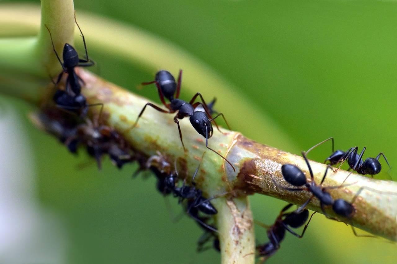 Лесные муравьи в саду польза и вред