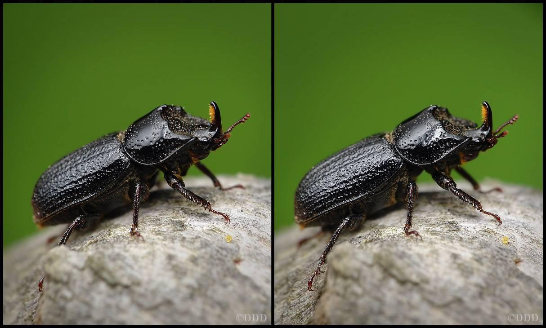Рогачик скромный – редкий жук березовых лесов