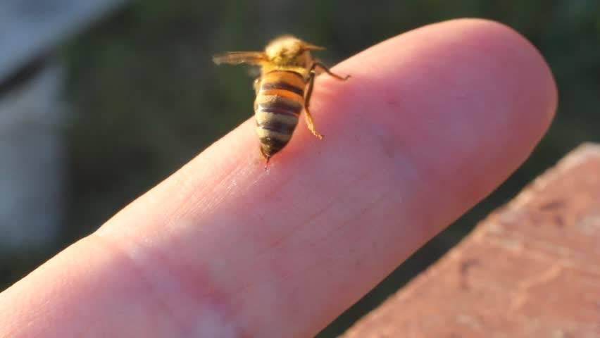 Укус осы и ее жало